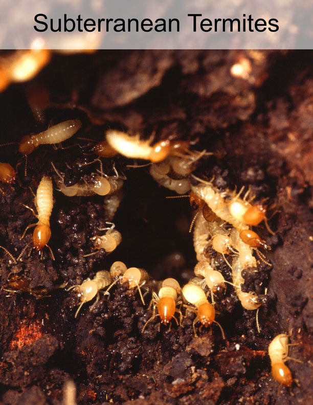 subterranean termites in orange county