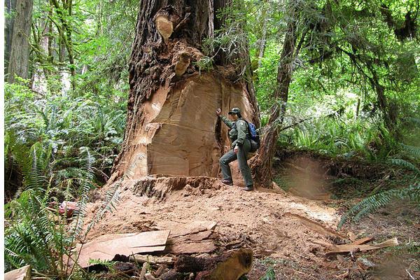 redwood burls