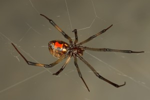 brown-widow