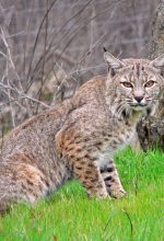 Homeowners Held Hostage By A Bobcat
