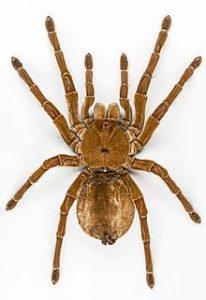 birdeater-spider