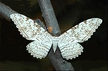 witch-moth