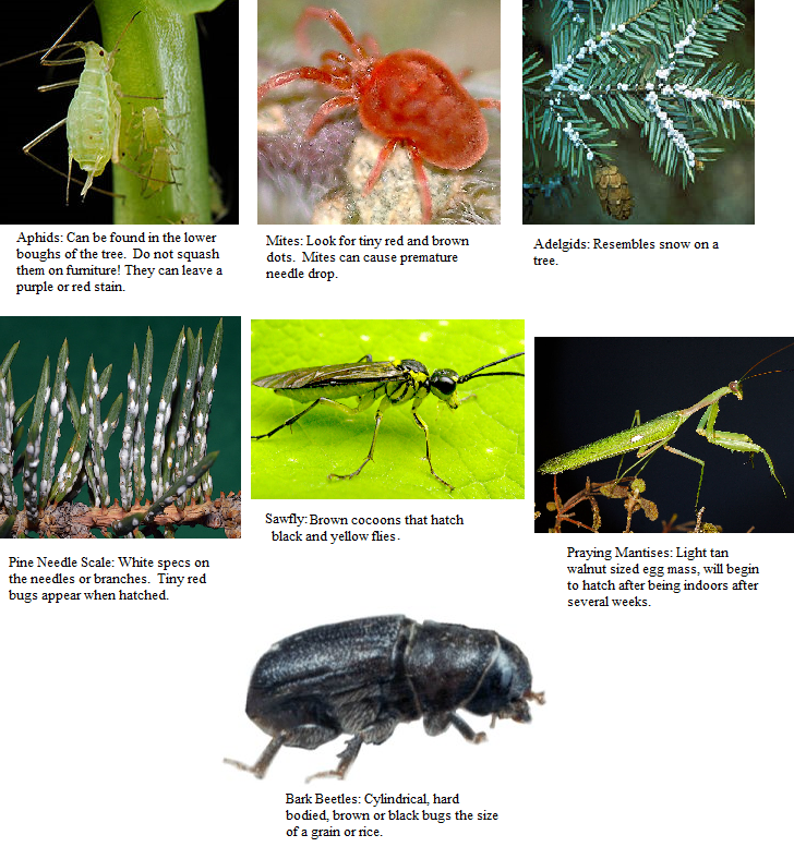 Bugs In Christmas Trees.Christmas Tree Critters Termite Inspection Orange County