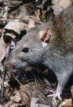 "The Case Of The ""Perennial Rats"""