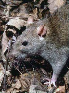 Rodent-wiki