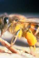 Killer Bees Attack 70-Year-Old Woman And Her Dog