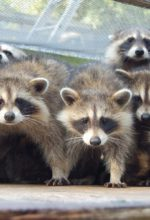Family Of Raccoons Take Over A Bank!
