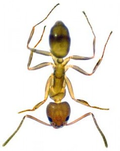 Argentinean Ant