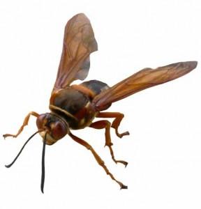 cicada-killers