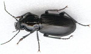 ground-beetles-aap