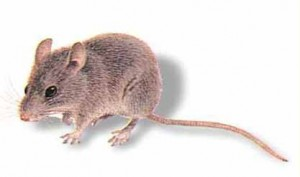 house-mouse2