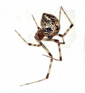 house-spider-aap