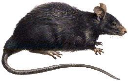 roof-rat1