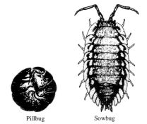 sow-bug-pill-bug-aap