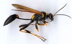 Bees Wasps Hornets Amp Other Stinging Insects Pest Control