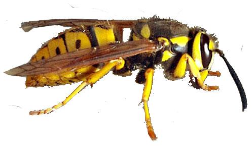 Giant yellow jacket bee - photo#14