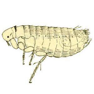 chicken-flea