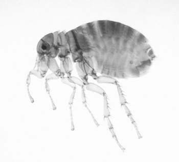 human-flea