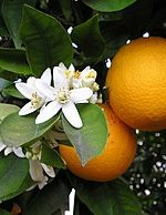 Florida Loses And California Becomes The Number One Citrus Producer